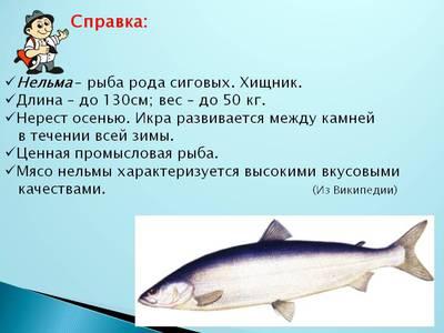 Как выглядит рыба нельма