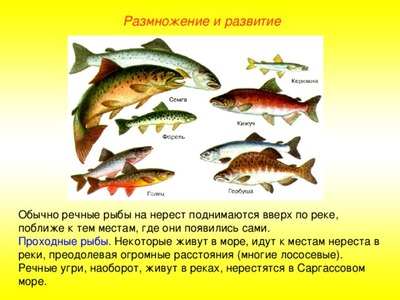 Горбуша виды рыб и отличия
