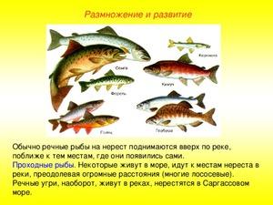 Рыба горбуша