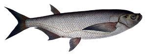 Места обитания рыбы чехонь