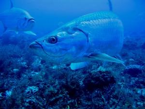 Строение и жизнедеятельность рыбы чехонь