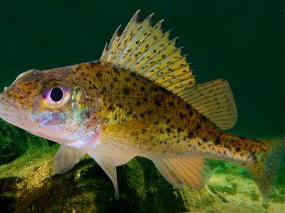Как выглядит рыба ерш